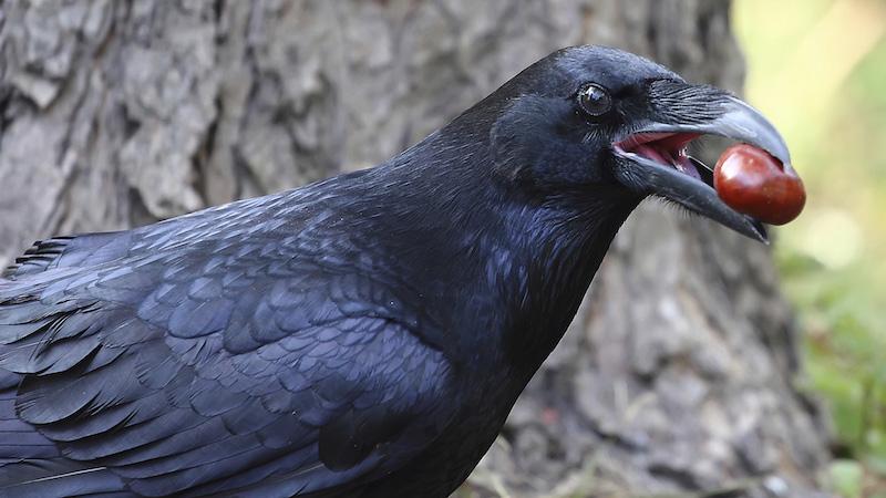 makanan burung gagak