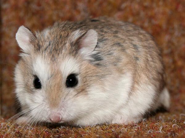 makanan hamster Roborovski